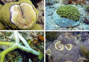 common coral diseases in the Caribbean