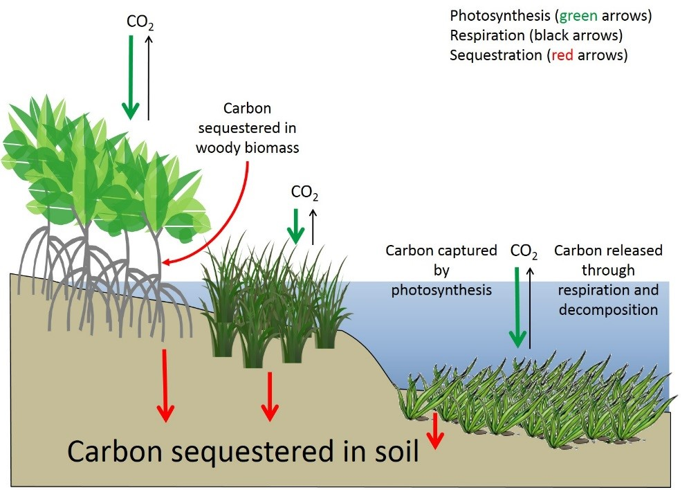 Carbon gets captured via photosynthesis (green arrows) in coastal wetlands where it gets sequestered into woody biomass and soil (red arrows) or respired back into the atmosphere (black arrows). Source: Modified from Howard et al. 2017.