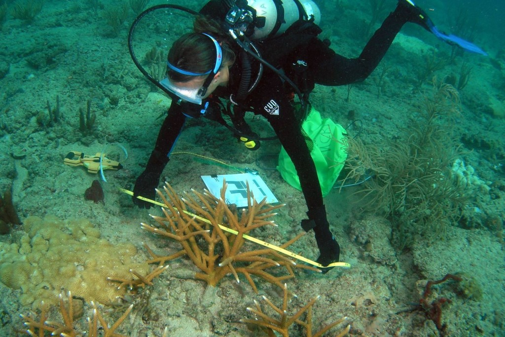 Diver monitoring Acropora cervicornis donor colony. Photo © Elizabeth Goergen, NOVA Southeastern University