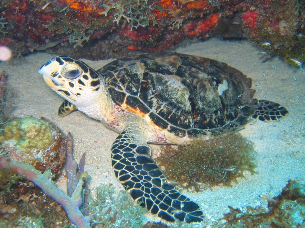 Tortue imbriquée. Photo © Nature Foundation St. Maarten