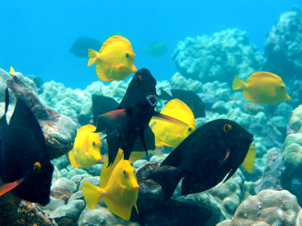 Beneficial herbivorous fishes fully protected within the Kahekili Herbivore Fishery Management Area in Hawai'i. Photo © Hawai'i DLNR