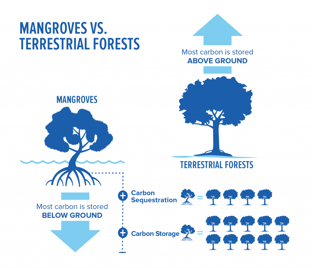 Secuestro de carbono en manglares vs. bosques terrestres. Fuente: Conservation International