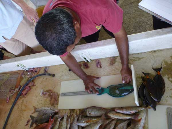 Measuring fish length as part of the Palau Stock Assessment Project. Photo © Andrew Smith