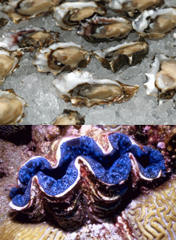 Top: Fresh oysters. Photo © Gerick Bergsma 2011/Marine Photobank. Bottom: Large giant clam (Tridacna maxima) in Australia. Photo © Chuck Savall 2012