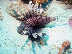 Lionfish (milha de Pterois) no Palm Beach, Florida. Foto © Chip Baumberger / Photobank Marinho