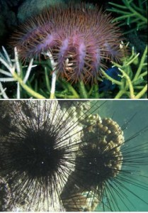Top: Crown-of-thorns starfish (Acanthaster planci) on coral. Photo © Wolcott Henry 2005/Marine Photobank; Bottom: Longspine sea urchin (Diadema setosum), Kenya. Photo © Tim McClanahan
