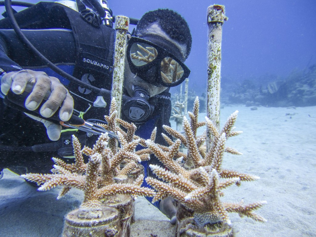 Mga fragmenting corals sa Cane Bay, St. Croix. Larawan © Lisa Terry / Ang Nature Conservancy