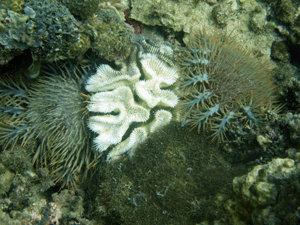 crown of thorn starfish