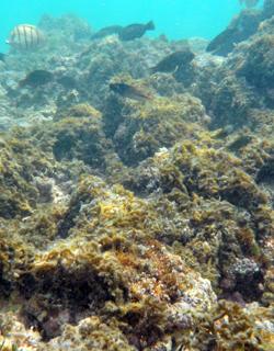 macroalgas cubre arrecifes en oahu