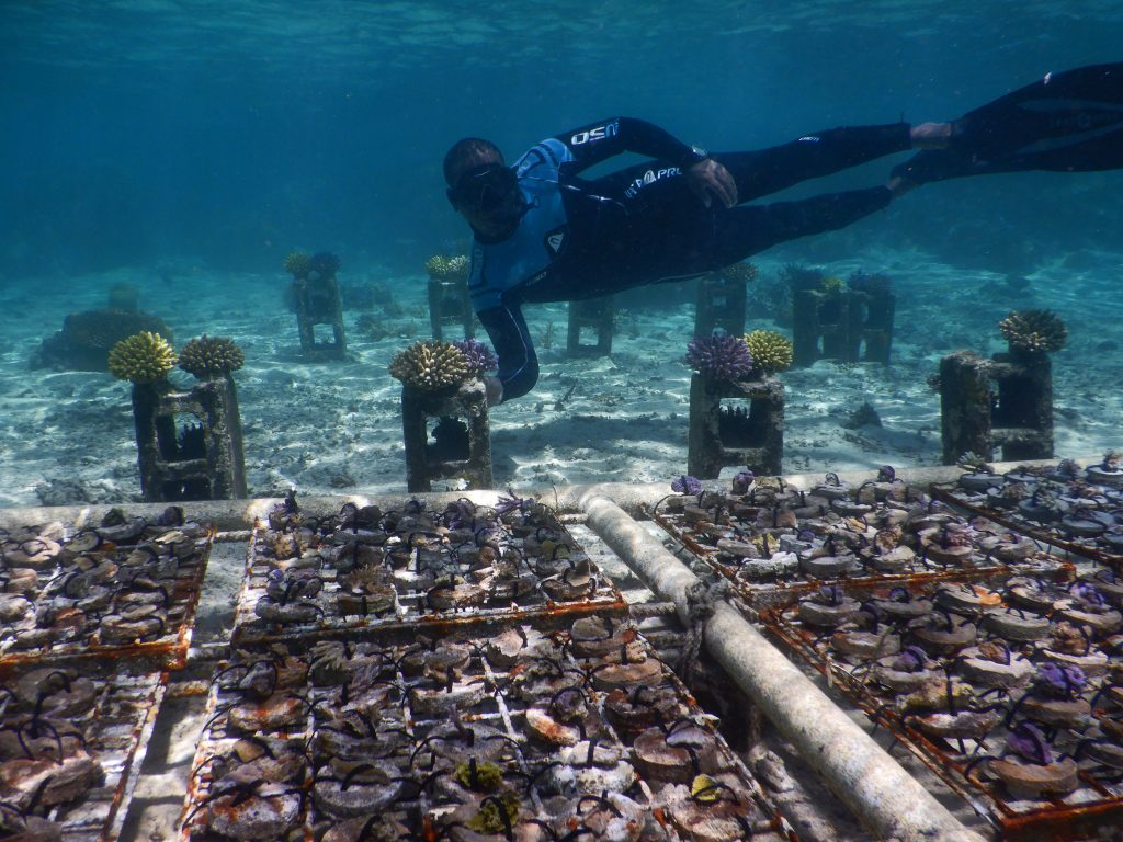 We use disc nurseries at one of our shallow sites in order to propagate species of corals that can't be easily grown on the ropes, such as corals that have encrusting or foliose growth forms. Cement discs are attached to mesh wire frames and then coral fragments are attached to the cement bases using pre-prepared cable ties. Photo © Reef Explorer Fiji Ltd.