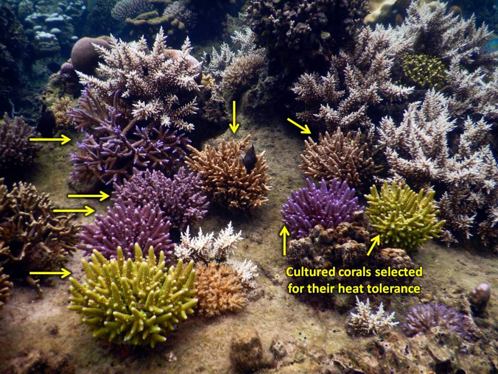 Our program has focused on working with heat-tolerant coral lineages that we have identified during thermal bleaching events. These 2018 transplants of heat-tolerant lineages of Acropora fruticosa are showing good thermal tolerance while other corals naturally occurring on the reef around them have already started to bleach during the 2019 hot season. Different lineages of the same species are planted in close proximity to each other to help promote successful reproduction with each other. Photo © Reef Explorer Fiji Ltd.