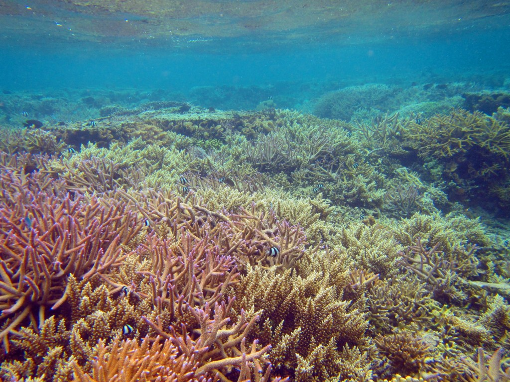 A reef area and overturned coral heads that have been restored with transplanted corals. Photo © Reef Explorer Fiji Ltd.
