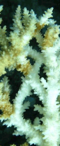 Brown Band disease on Acropora spp. Photo © Andrew Bruckner