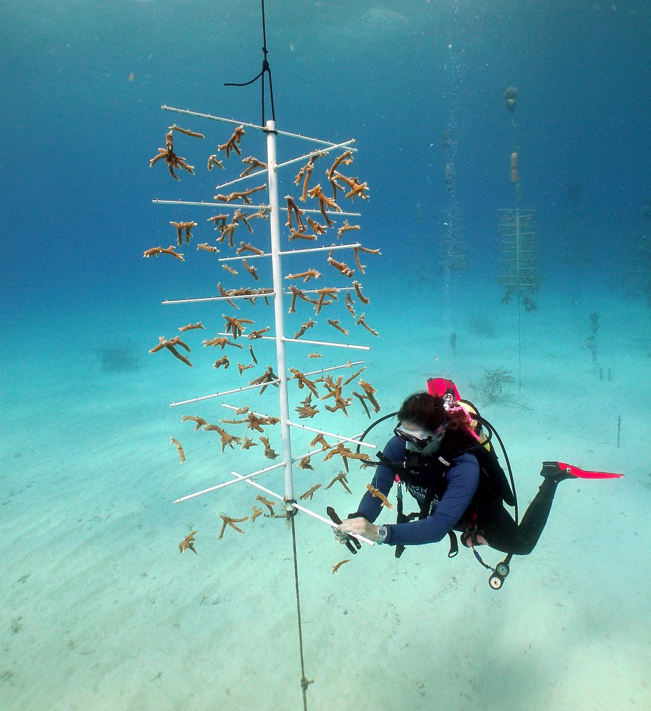 Floating PVC tree used for growing and rearing staghorn corals. Tavernier, Florida. Photo © Coral Restoration Foundation