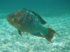 Ang parrotfish sa Rainbow (Scarus guacamaia), ang pinakadako nga isda nga makahalipay sa Caribbean. Photo © Julio Maaz (WCS)