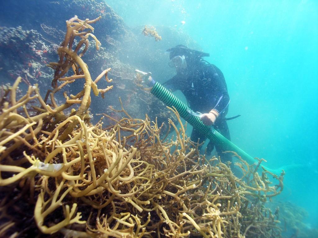 Taucher, die den Super Sucker verwenden, um invasive Algen zu entfernen © Hawai'i DLNR