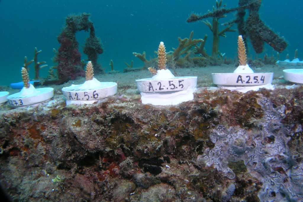 Coral pucks labeled with unique identification codes after pruning. © Elizabeth Goergen, NOVA Southeastern University.
