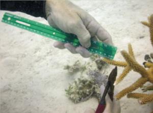 收集鹿角珊瑚(Acropora cervicornis)的碎片。 照片©Ken Nedimeyer