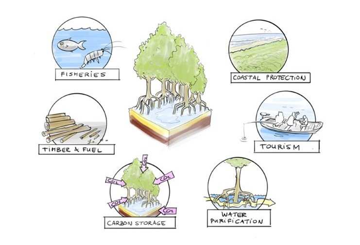 Ecosystem services provided by Mangroves