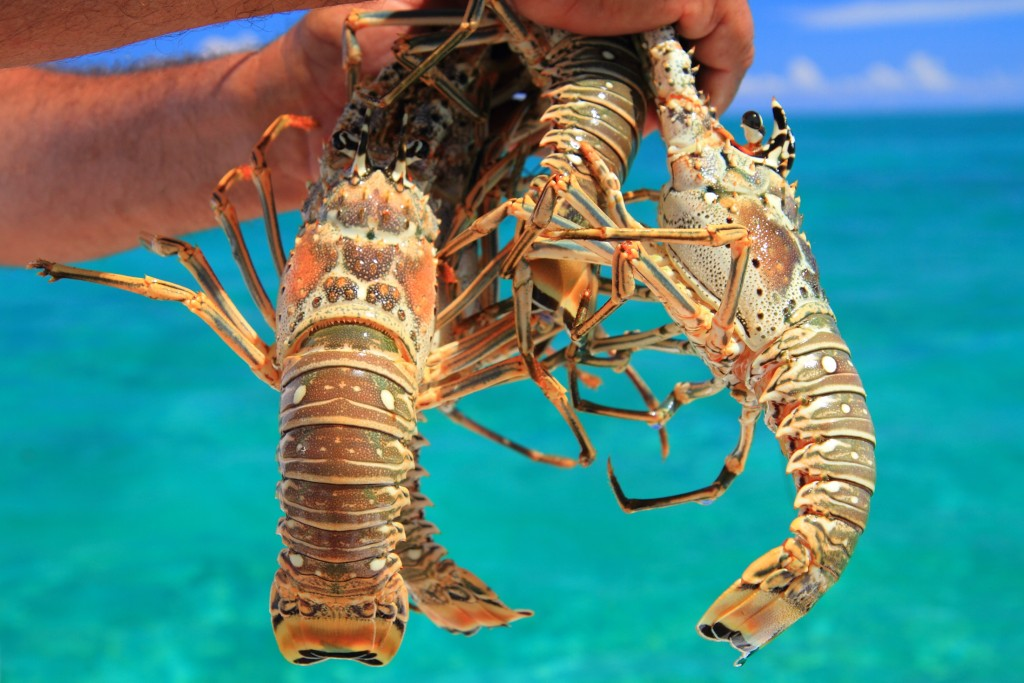 The commercial capture fishing industry for lobster and conch is an important export and a source of employment for approximately 15,000 Belizeans. Photo © Jason Houston/Rare