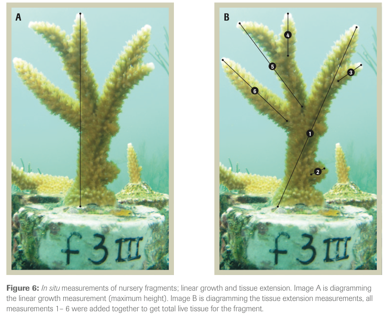 (來自Johnson et al.2011,Caribbean Acropora Restoration Guide,page 21)