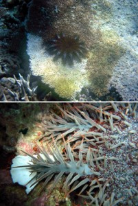 Top: COTS on table Acropora. Old dead coral to right (gray), moving into algal covered (greenish-brown), to white newly dead coral. Bottom: COTS with white feeding scar on coral. Photos © The Nature Conservancy