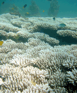 Mass bleaching occurs when sea temperatures rise 1-2° C above normal summer maxima for an extended period and is accompanied by strong sunlight. Photo © Great Barrier Reef Marine Park Authority