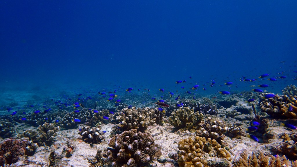 Usa ka coral transplant site site sa Cousin Island Special Reserve. Litrato © Mga Reef Rescuers