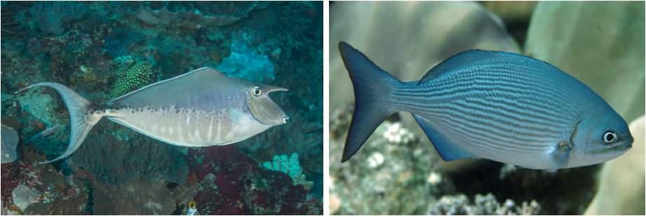 Zwei verschiedene Fischarten, ein Einhornfisch (Naso brachysentron) und ein Ruderfisch (Kyphosus vaigiensis), die die gleiche Funktion von Browsern am Riff erfüllen und Makroalgen entfernen. Foto © Mark Rosenstein (links); Quelle: Green und Bellwood 2009 (rechts)