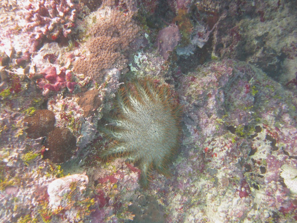 A crown-of-thorns starfish on a reef in Yap outside of Nimpal MCA. Photo © Peter Houk
