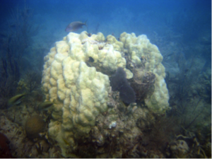 Recently dead Montastrea coral due to a cold water event. Photo © Meaghan Johnson/TNC