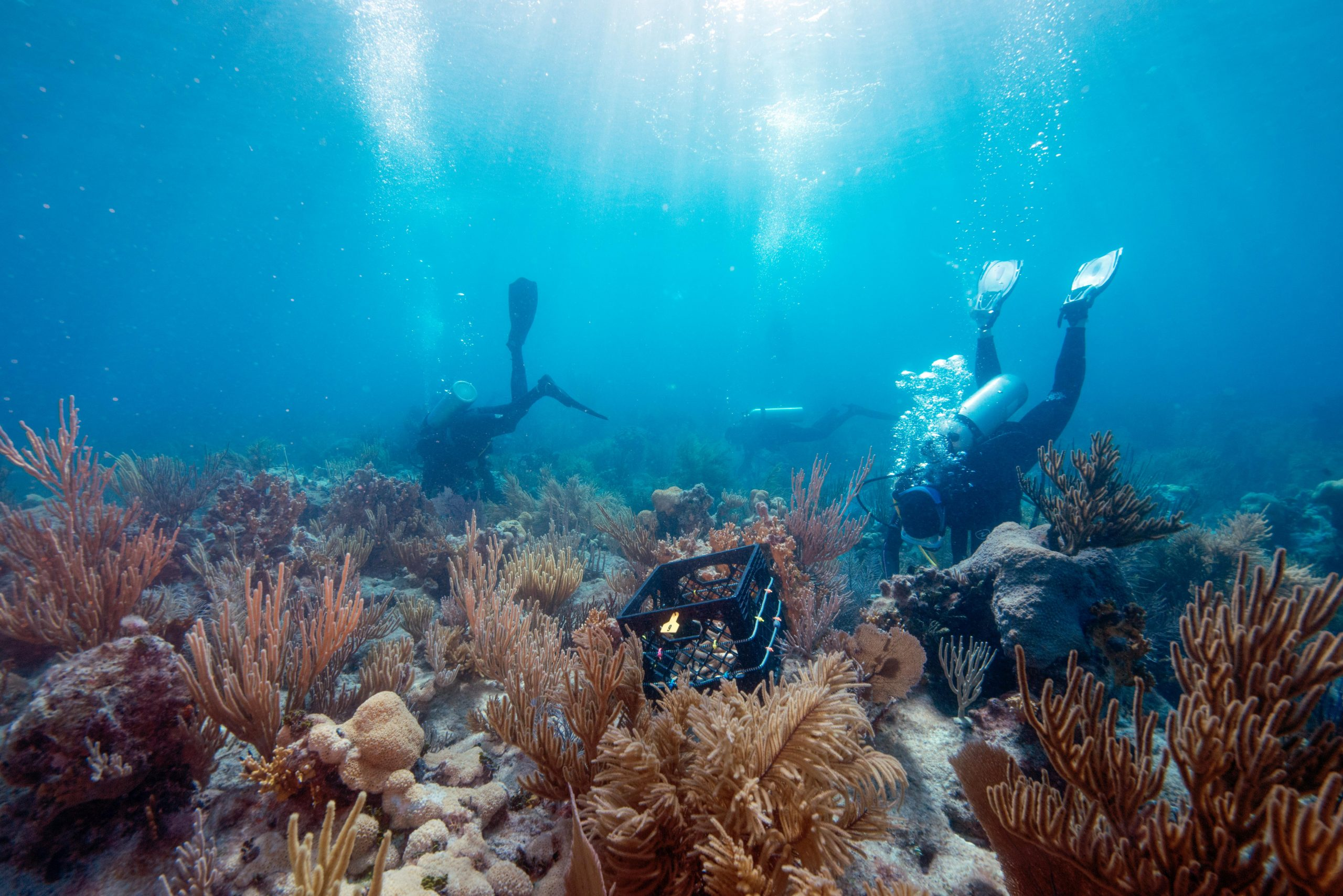 Outplanting corals in the dry tortugas, Flórida, EUA