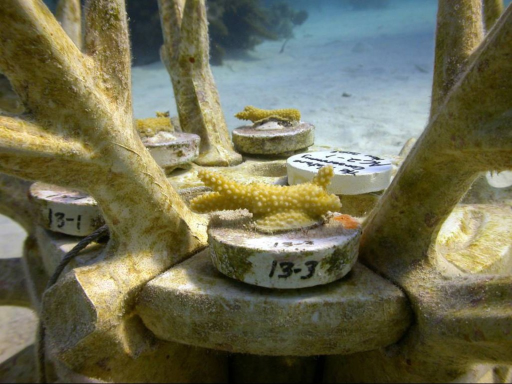 Staghorn، المرجان، عن، EcoReefs. الصورة © Meaghan Johnson / TNC