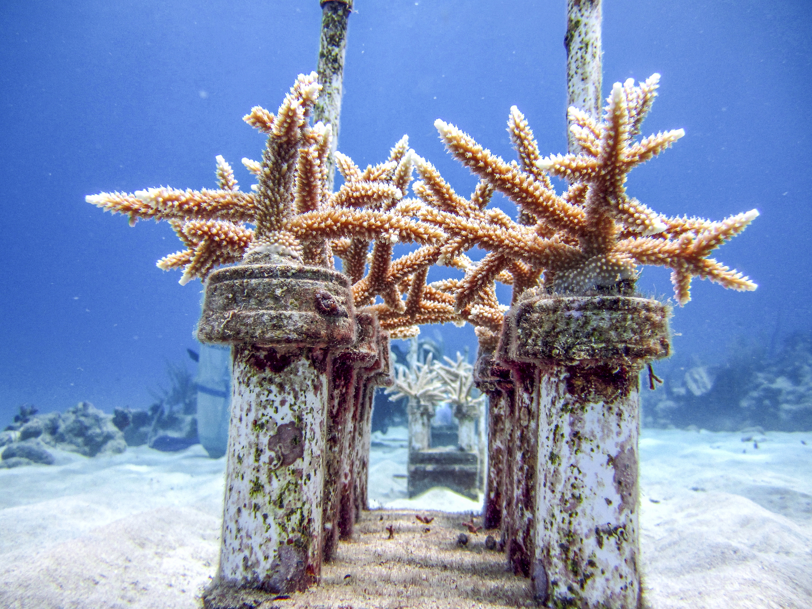 Ang Staghorn Corals sa Cane Bay, St. Croix. Photo © Kemit-Amon Lewis / TNC